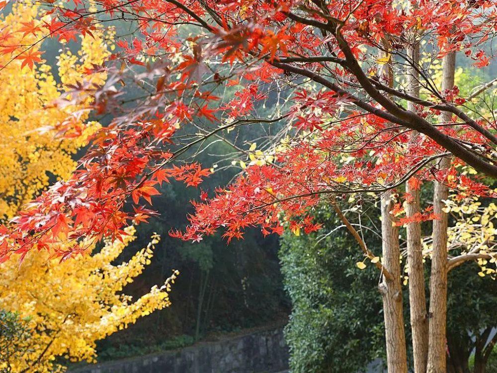 沙红枫叶进入最佳观赏期 毛叶枫香、鸡爪槭、日本红枫等